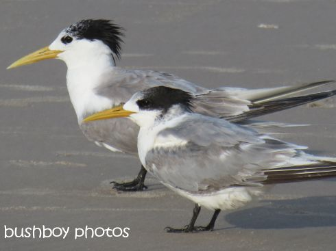 terns01_named_broken head_april 2015