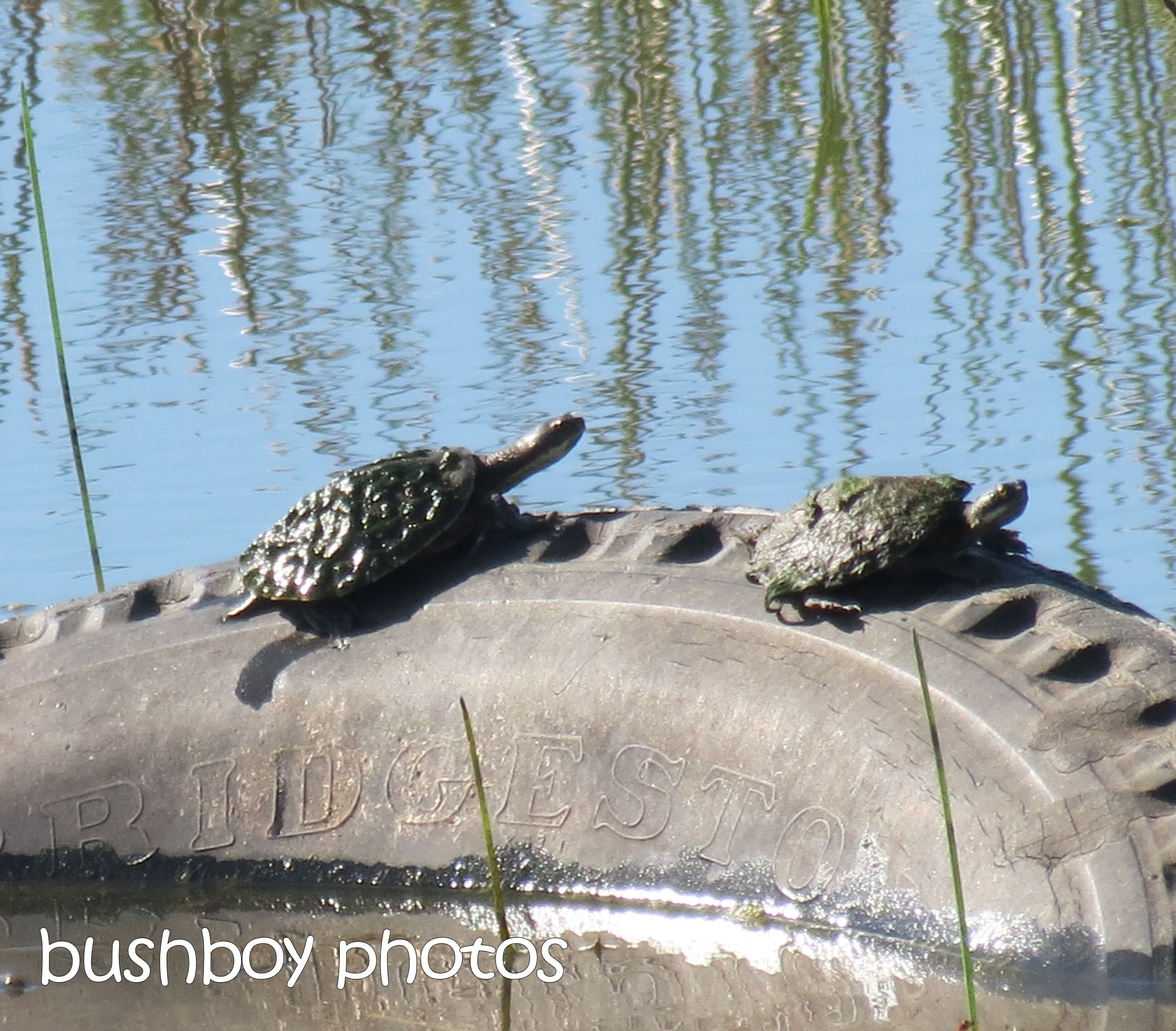 turtles_tyre_named_grafton_march 2015