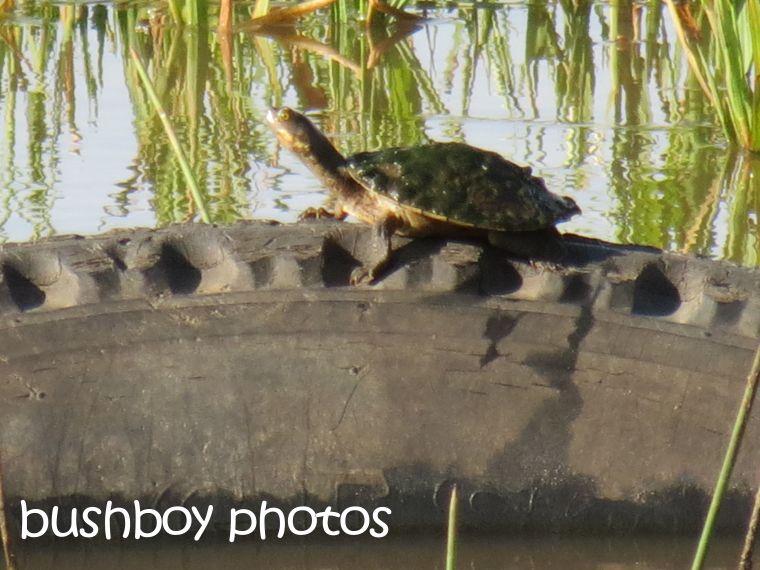 tyre turtle_named_grafton_april 2015