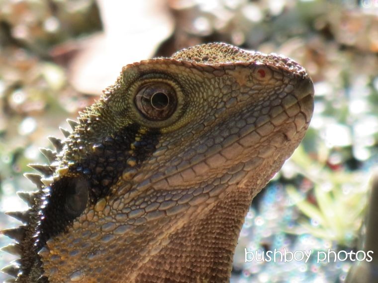 water dragon02_named_binna burra_april 2014