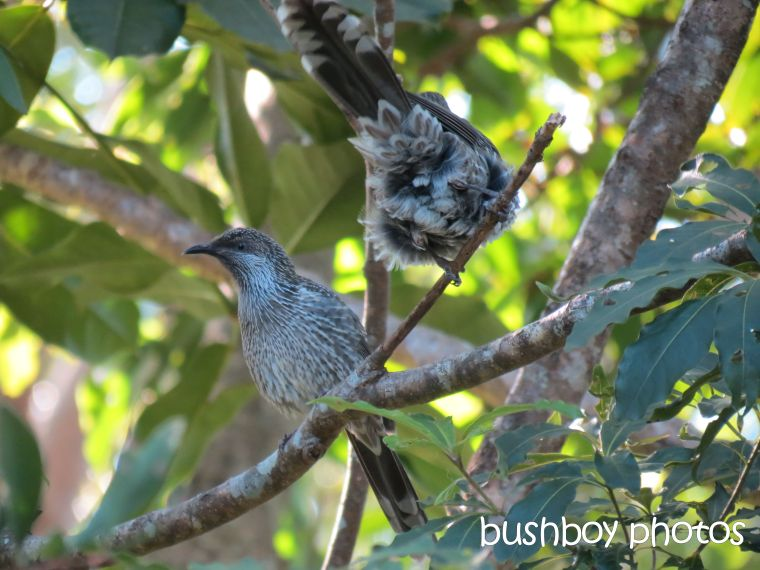 wattle birds_named_binna burra_march 2015