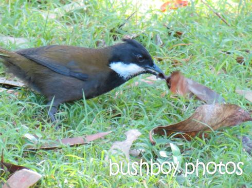 whipbird_named_binna burra_june 2014