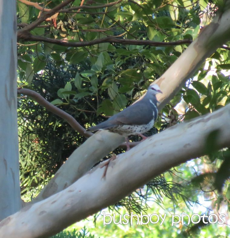 wonga pigeon_named_binna burra_march 2015