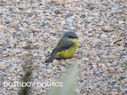 yellow robin_named_home_april 2015