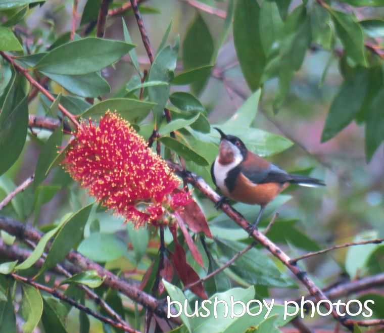 eastern spinebill_named_home_may 2015