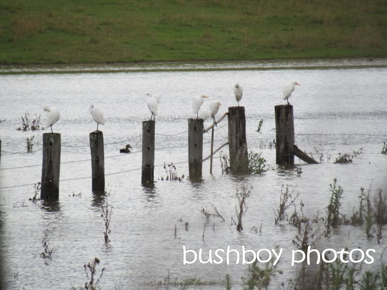 egrets_south grafton_grafton flood_named_may 2015