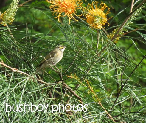 yellow-faced honeyeater_named_home_may 2015