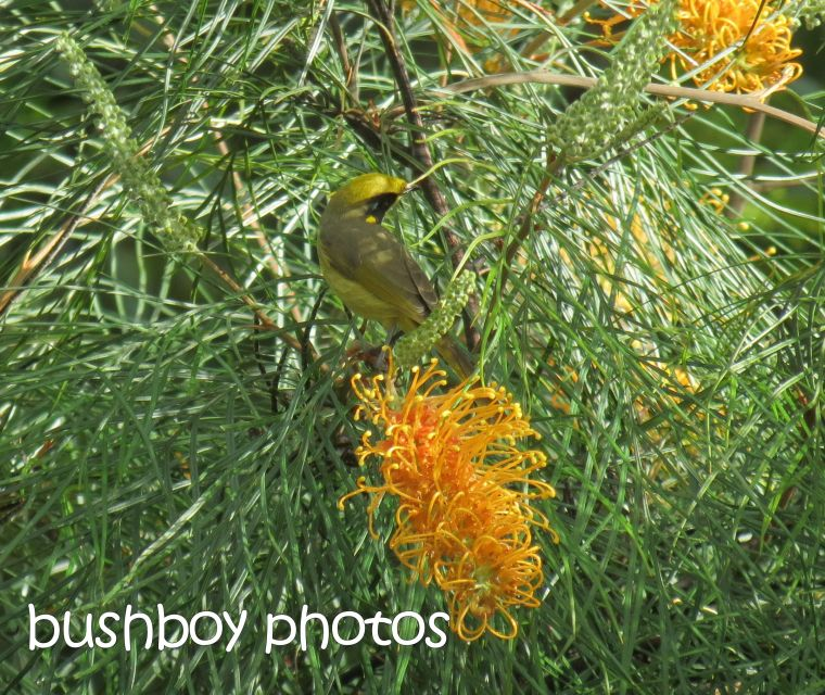 yellow-tufted honeyeater_named_home_may 2015