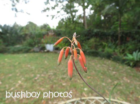 aloe flower01_named_binna burra_may 2015