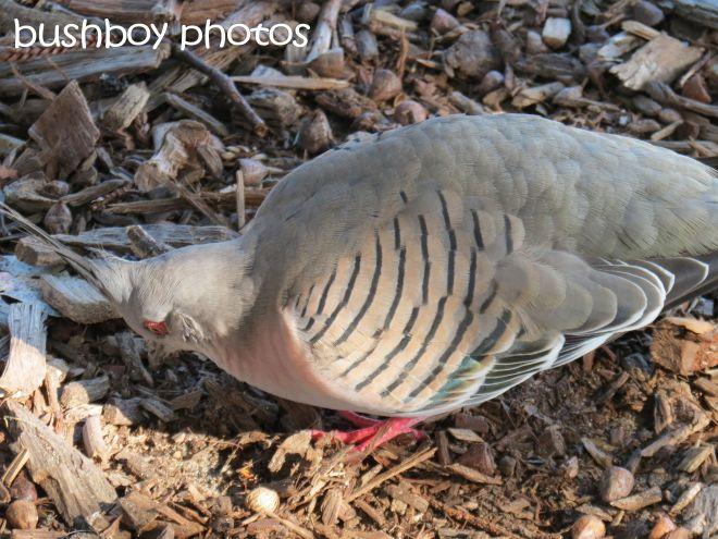 crested pigeon01_named_gosford_june 2015