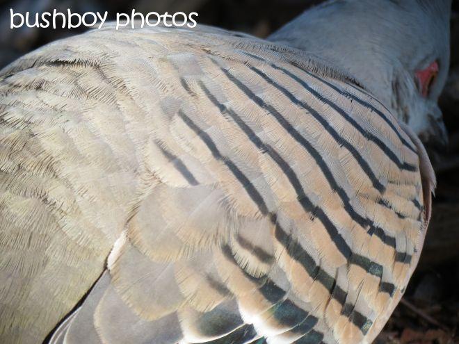 crested pigeon_close_named_gosford_june 2015