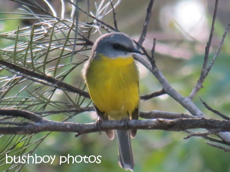 eastern yellow robin01_named_home_may 2015