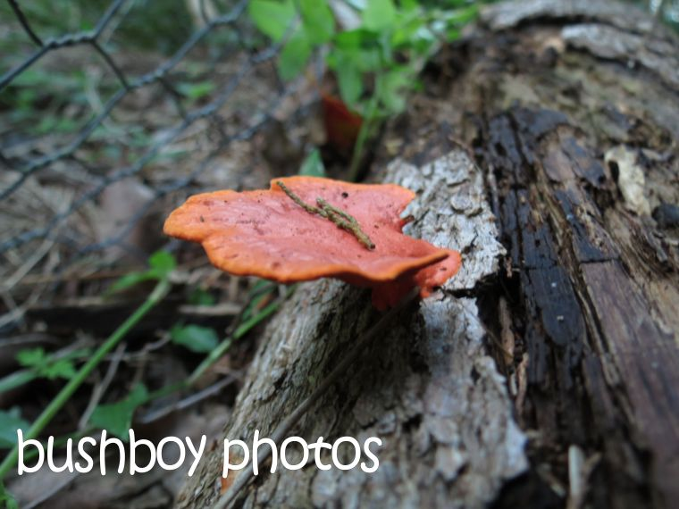 fungi_wood_named_binna burra_may 2015