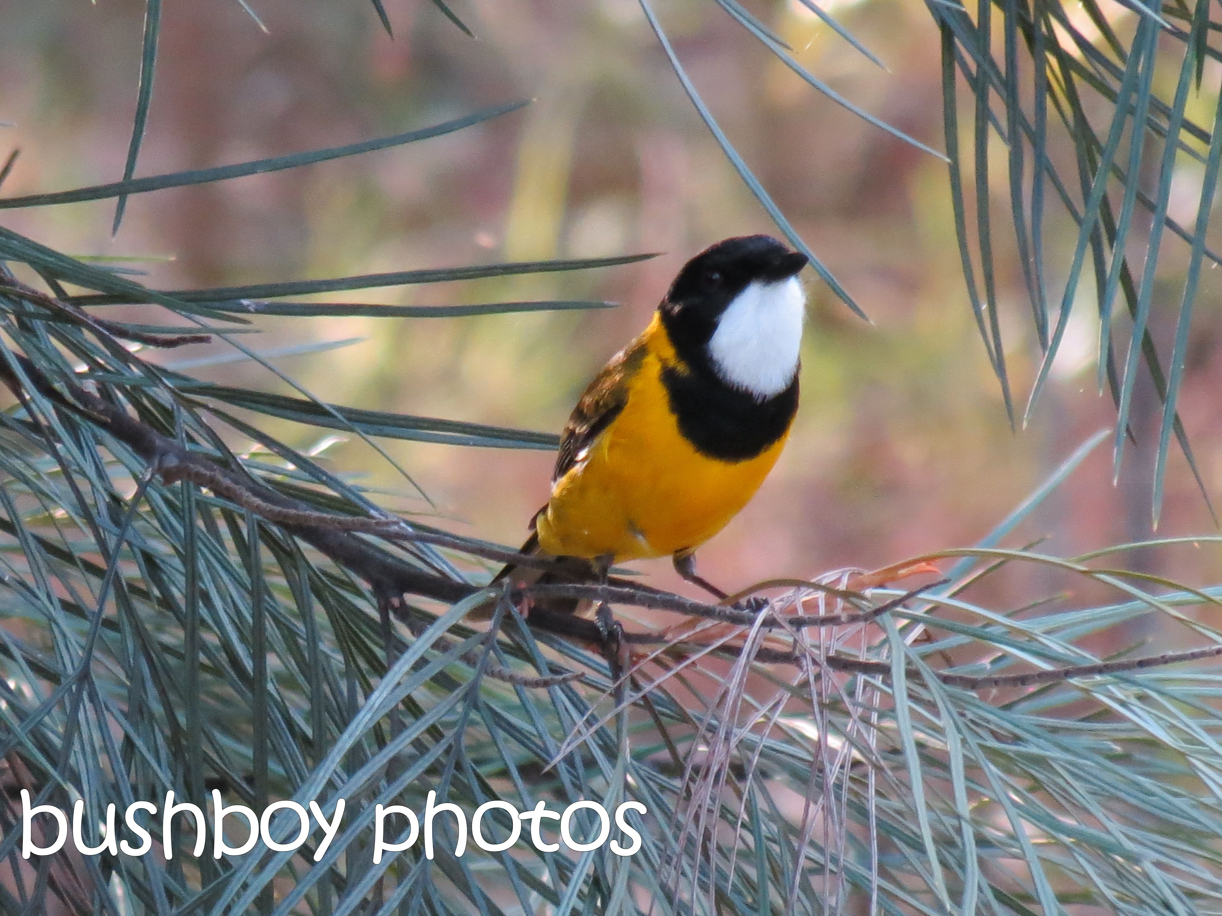 golden whistler01_named_home_may 2015