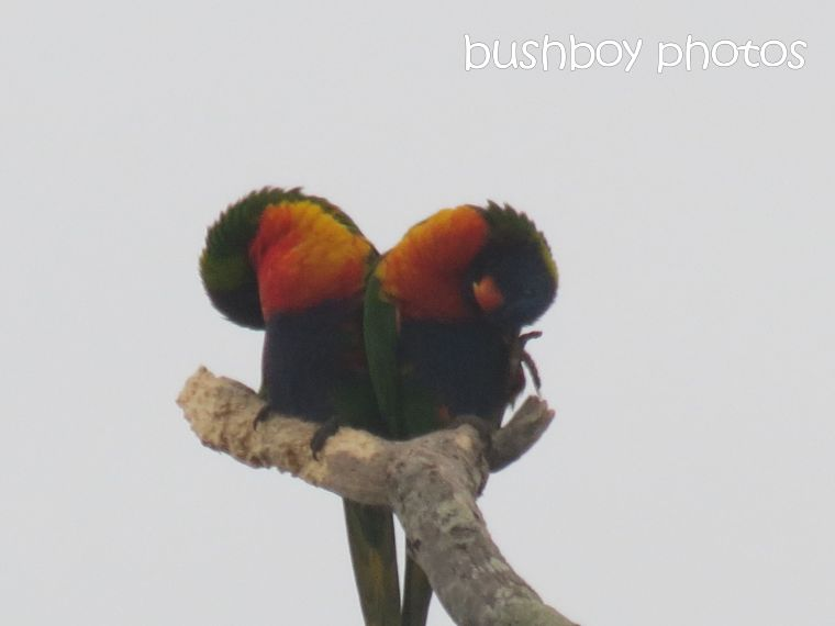rainbow lorikeets_grafton_named_may 2015