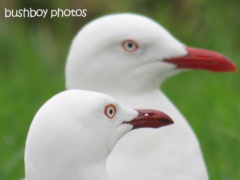 seagulls_named_grafton_may 2015