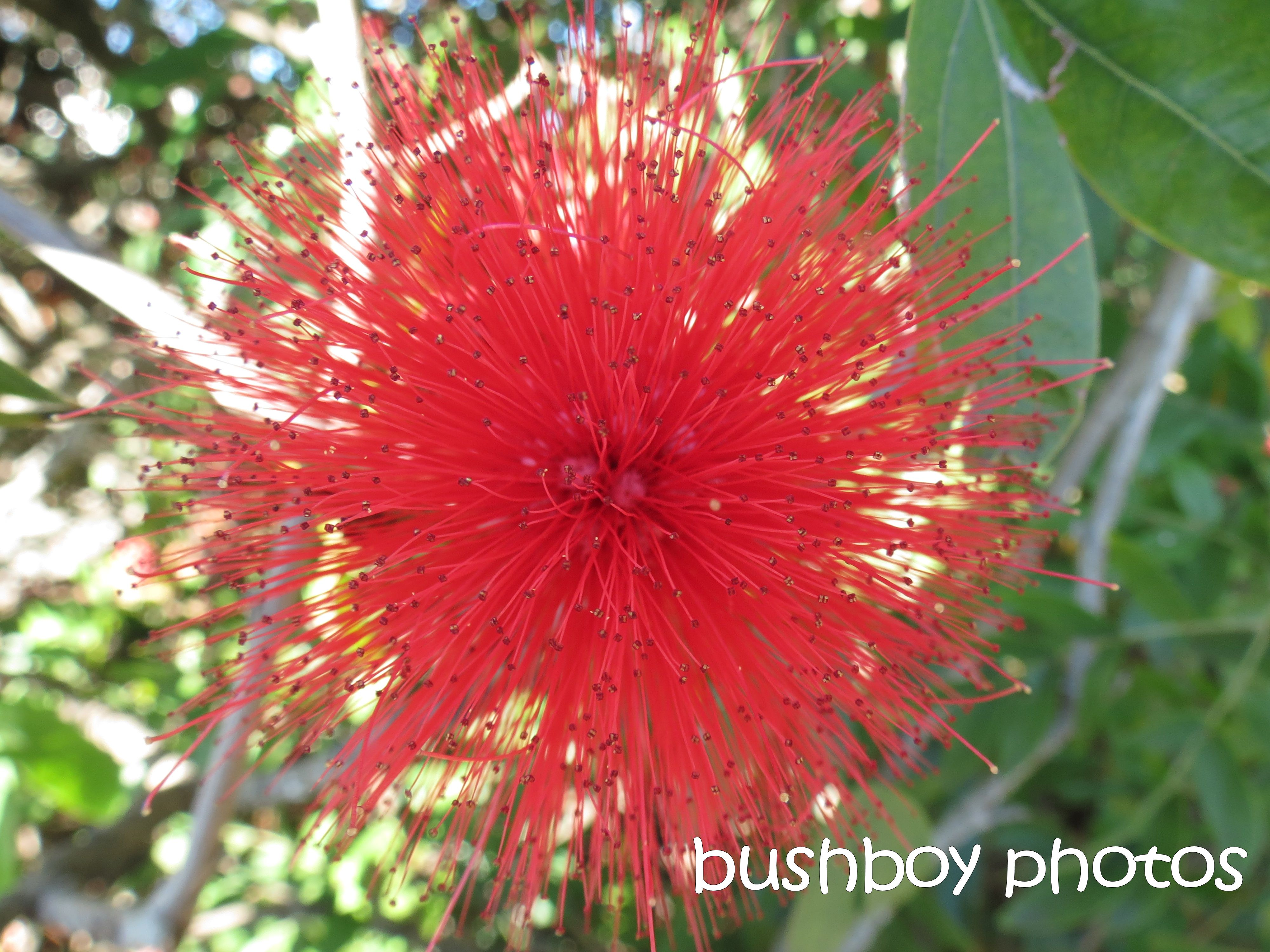 red flower_named_grafton_august 2015
