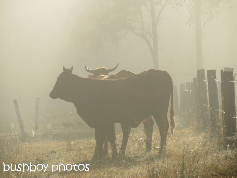 cattle_duroux rd_named_august 2015
