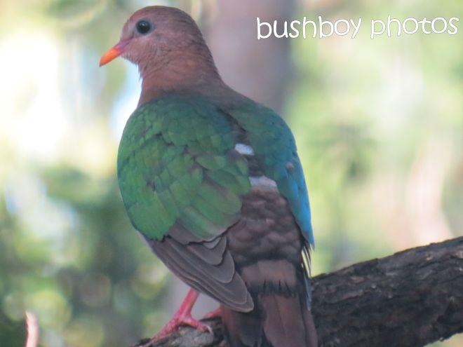 emerald dove_named_binna burra_august 2015