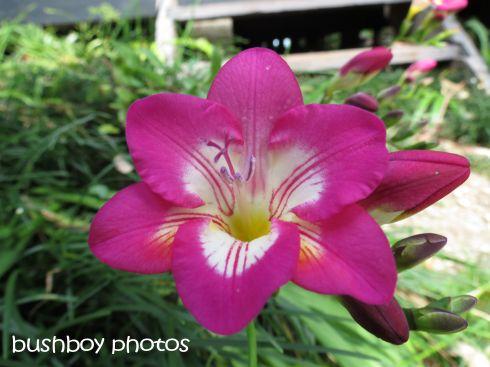 flower_named_binna burra_august 2015