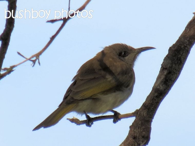honeyeater_banora_named_august 2015