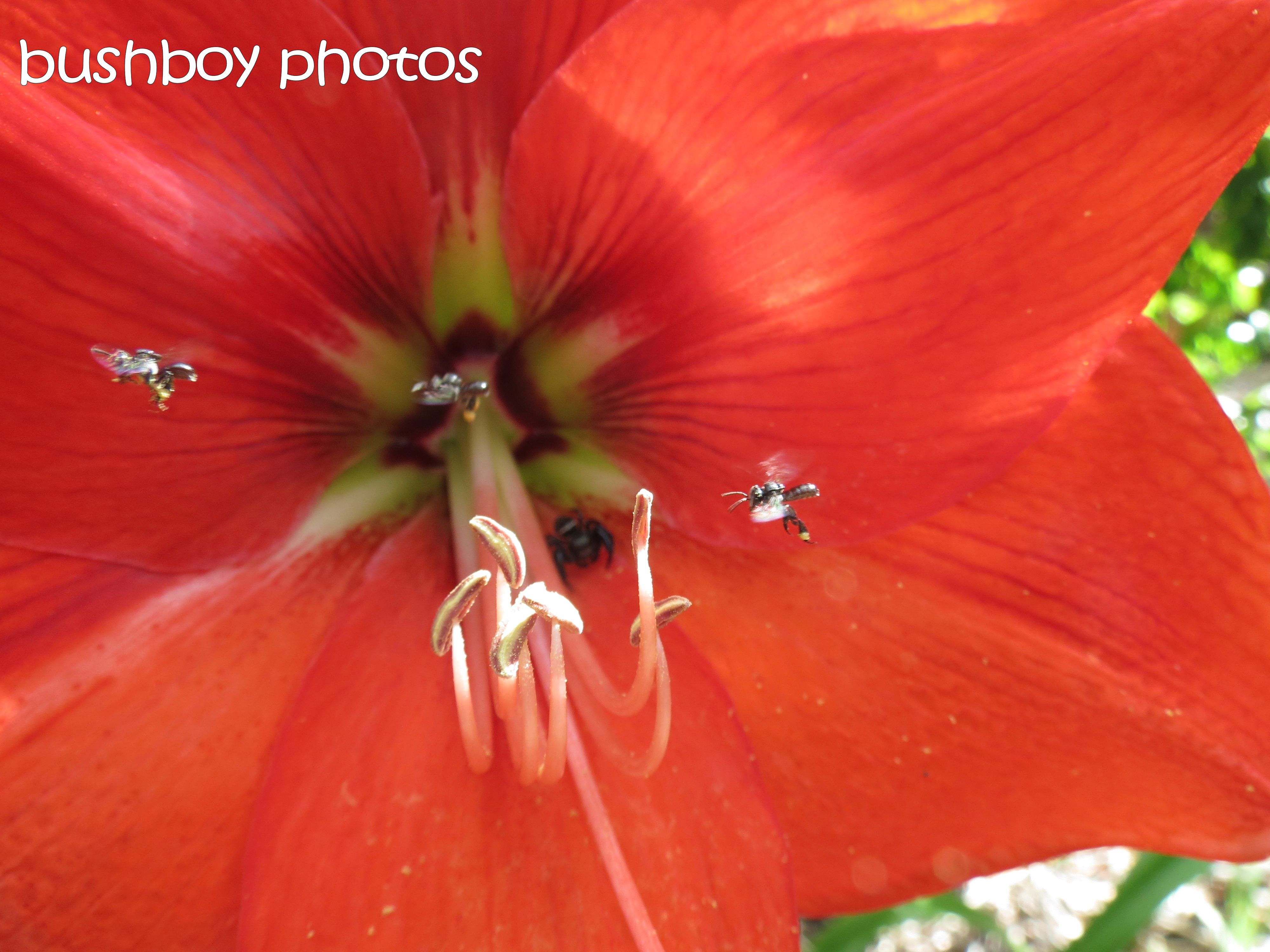 the hippeastrum_the bee_the spider_named_home02_oct 2015