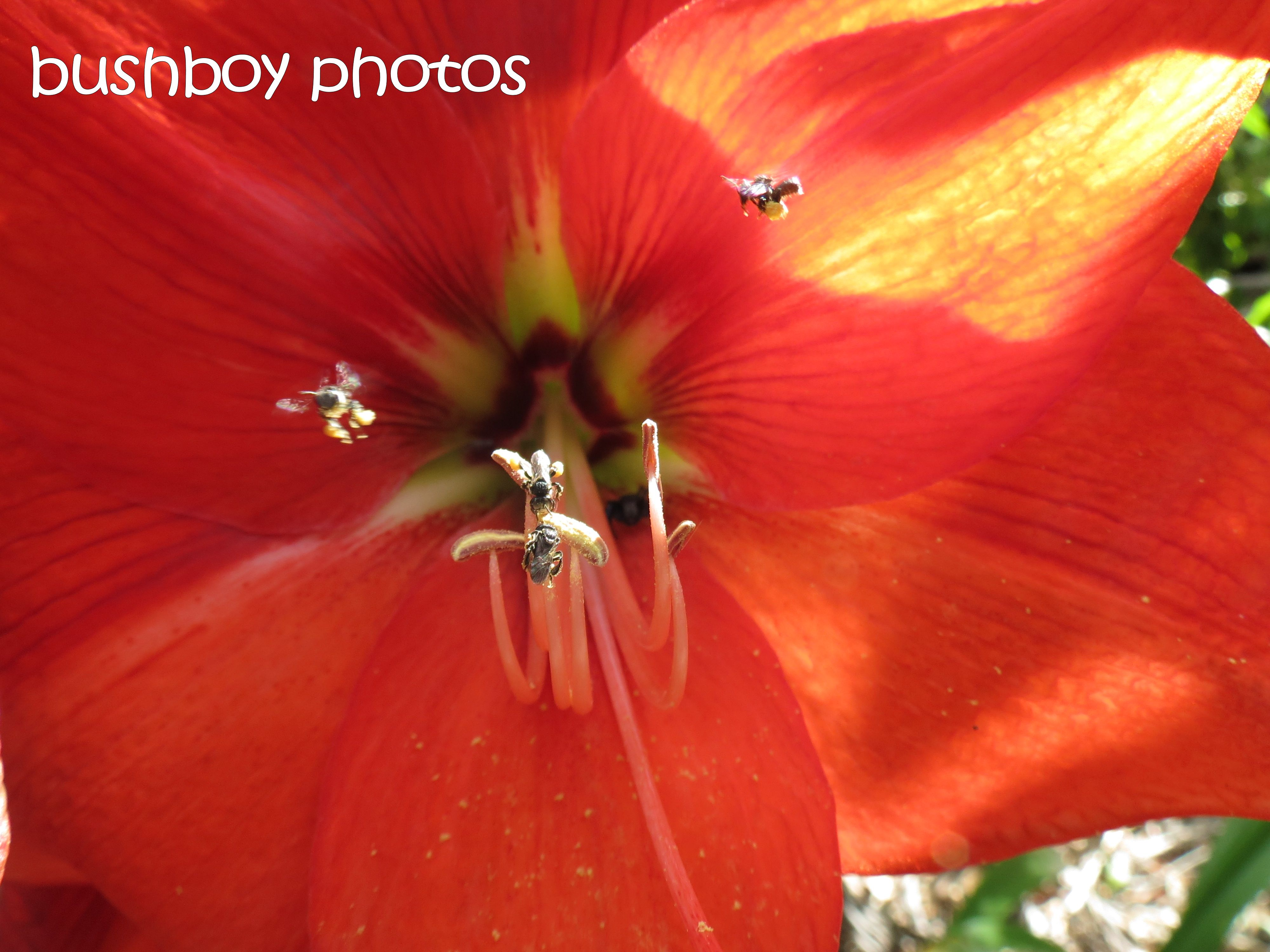 the hippeastrum_the bee_the spider_named_home04_oct 2015