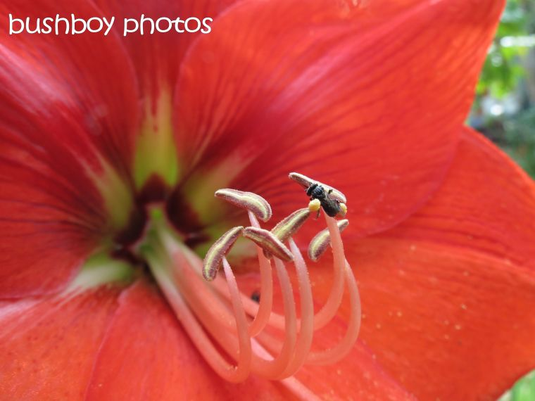 the hippeastrum_the bee_the spider_named_home_oct 2015