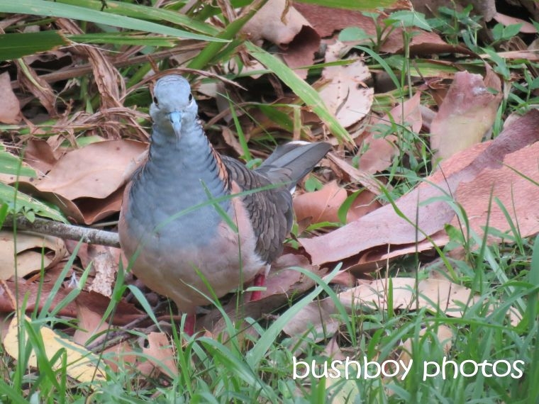 bar shouldered dove_binna burra_named_nov 2015
