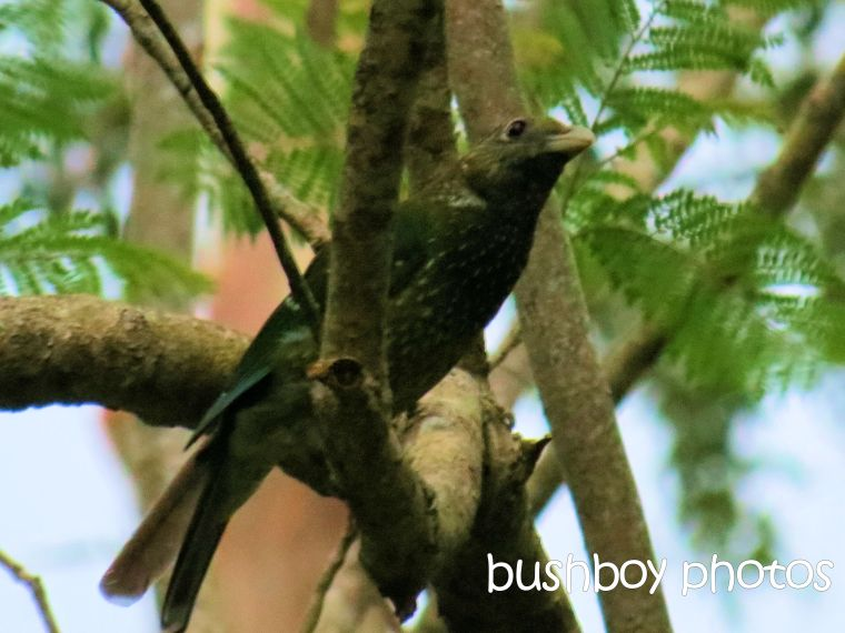 cat bird_binna burra_named_nov 2015
