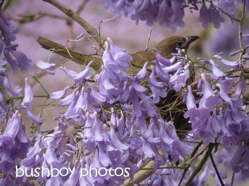 fig bird01_nest_grafton_named_nov 2015