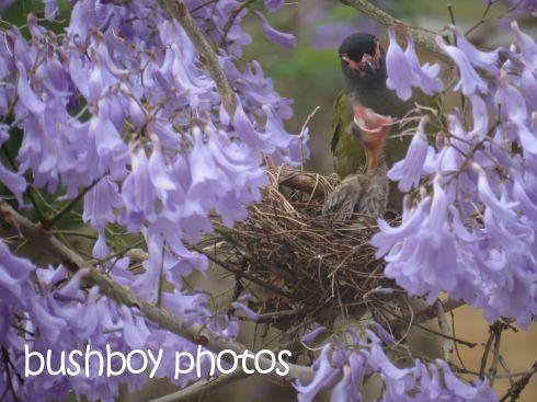 fig bird_feeding_nest_grafton_named_nov 2015