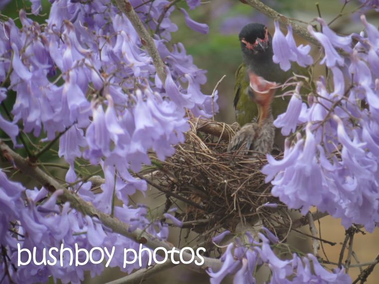 fig bird_feeding_nest_grafton_named_nov 2015