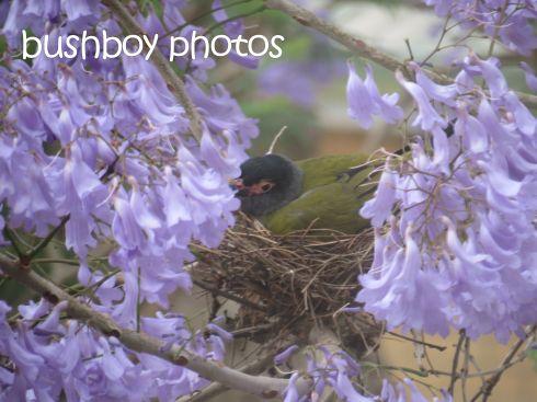 fig bird_male_nest_grafton_named_nov 2015