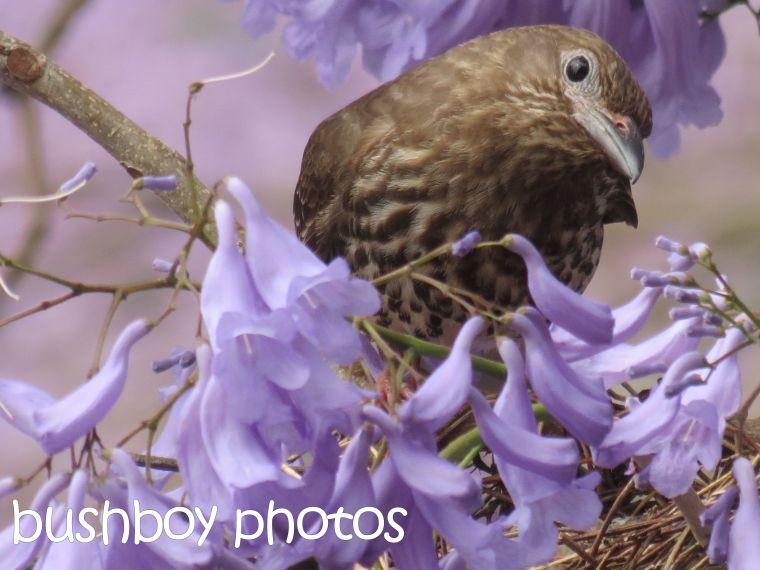 fig bird_nest_grafton_named_nov 2015