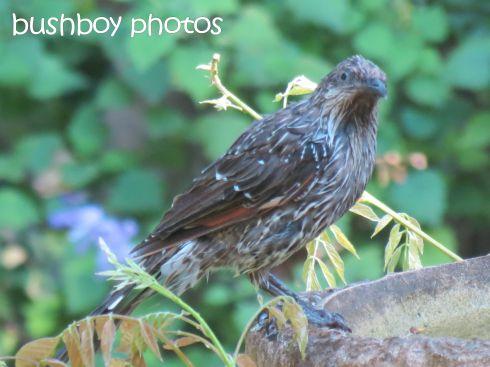 little wattlebird02_binna burra_named_nov 2015
