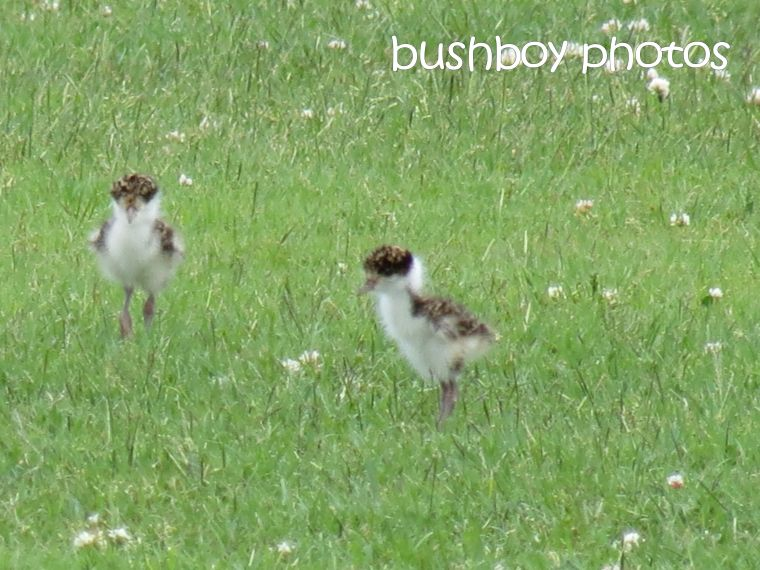 plover chicks_ballina_named_nov 2015