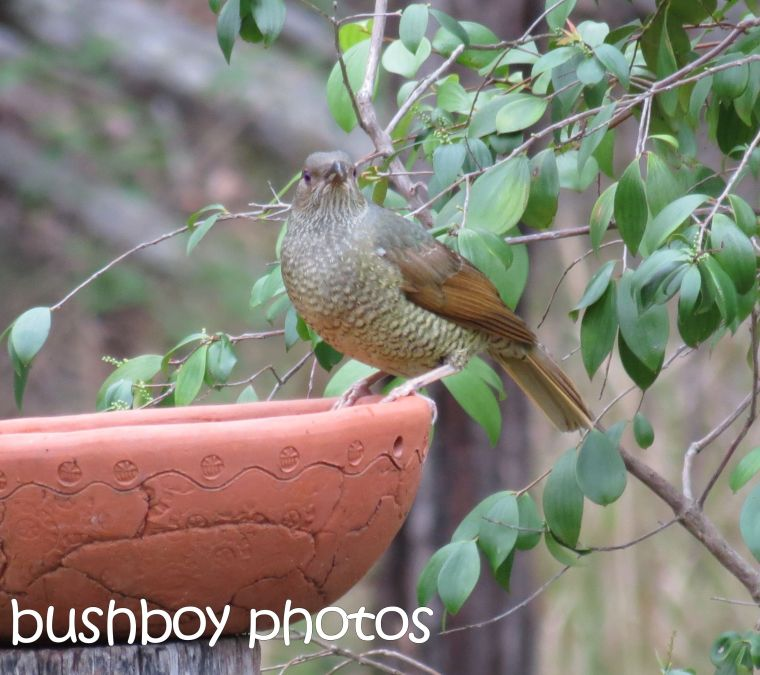 bower bird_home_named_dec 2015