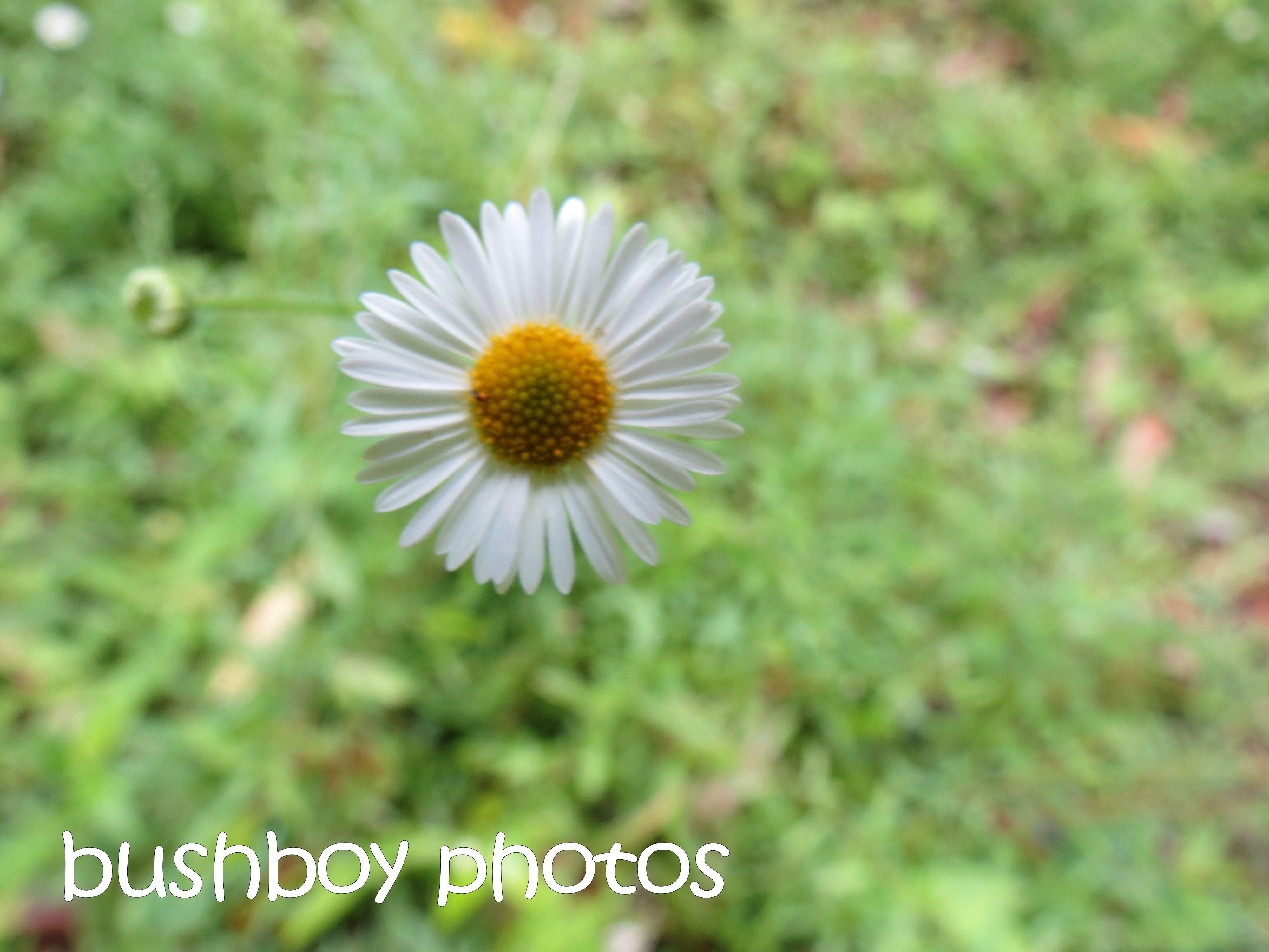 daisy_binna burra_named_dec 2015