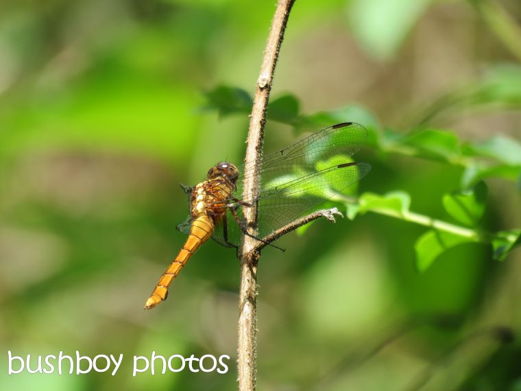 dragonfly01_binna burra_named_dec 2015