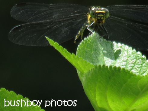 dragonfly02_binna burra_named_dec 2015
