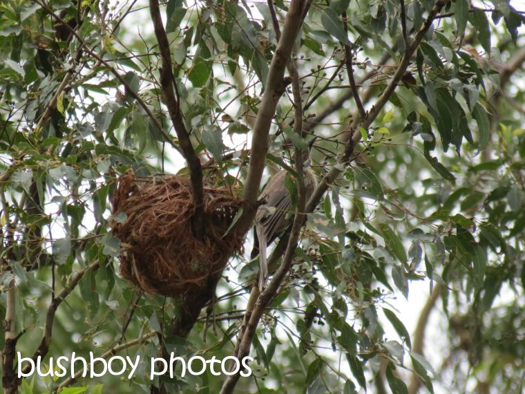 friarbird nest01_home_named_dec 2015