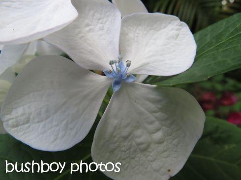 white hydrangea01_binna burra_named_dec 2015