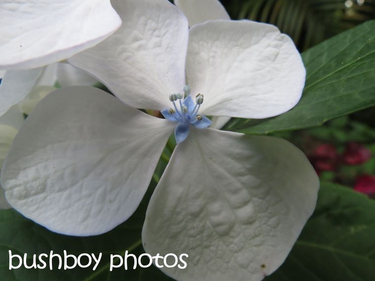 white hydrangea01_binna burra_named_dec 2015