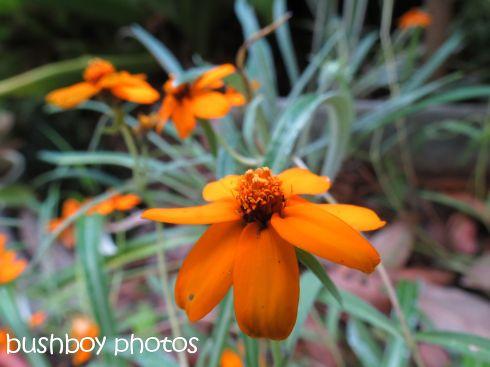yellow flower_binna burra_named_dec 2015