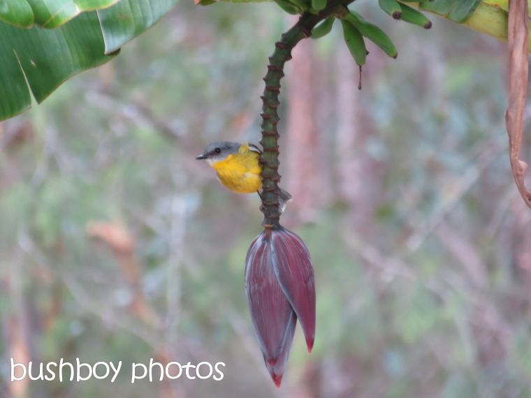 yellow robin_banana_home_named_dec 2015