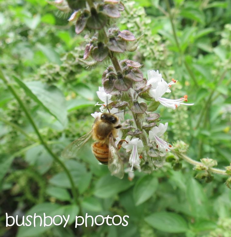 bee_named_lismore_dec 2015