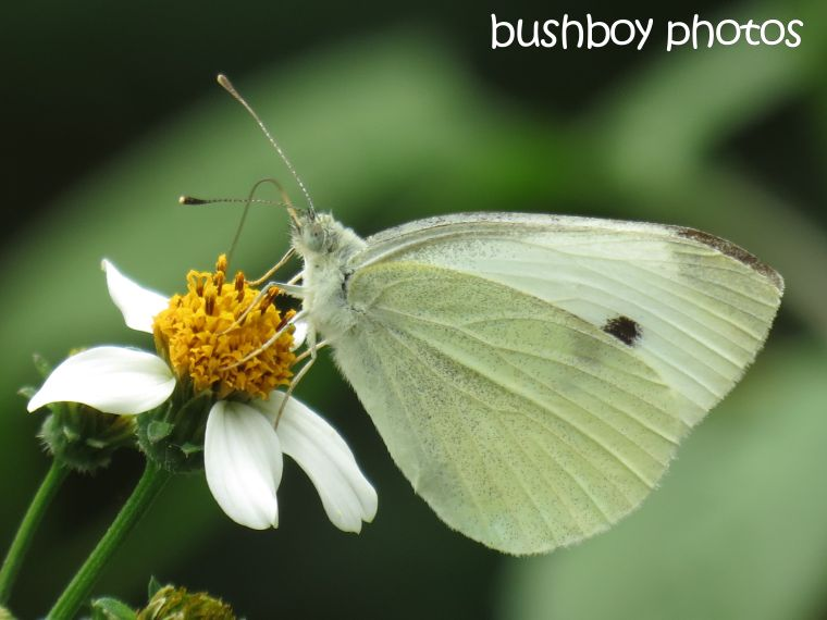 butterfly_named_lismore_dec 2015