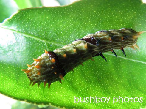 caterpillar_named_lismore_dec 2015