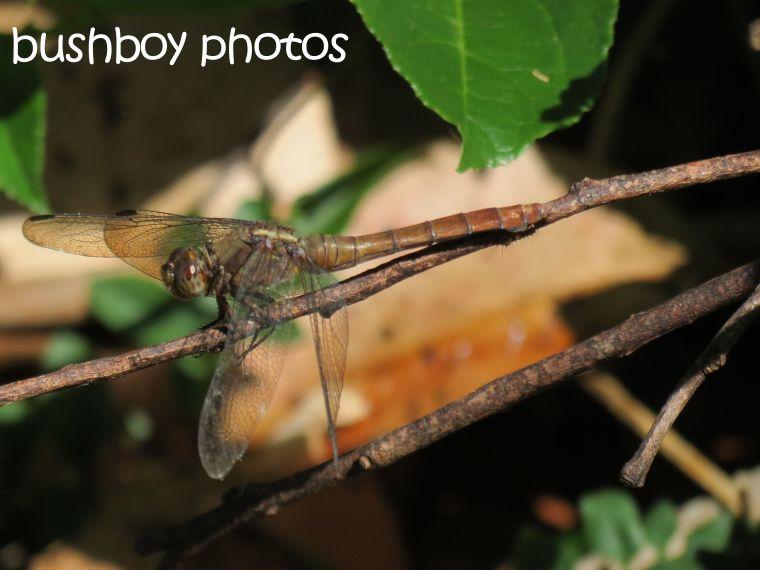 dragonfly01_binna burra_named_dec 2015